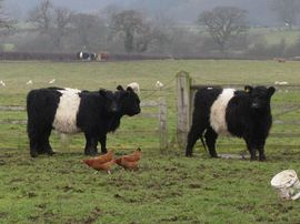 White Belted Galloways