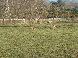 Deer grazing by the park
